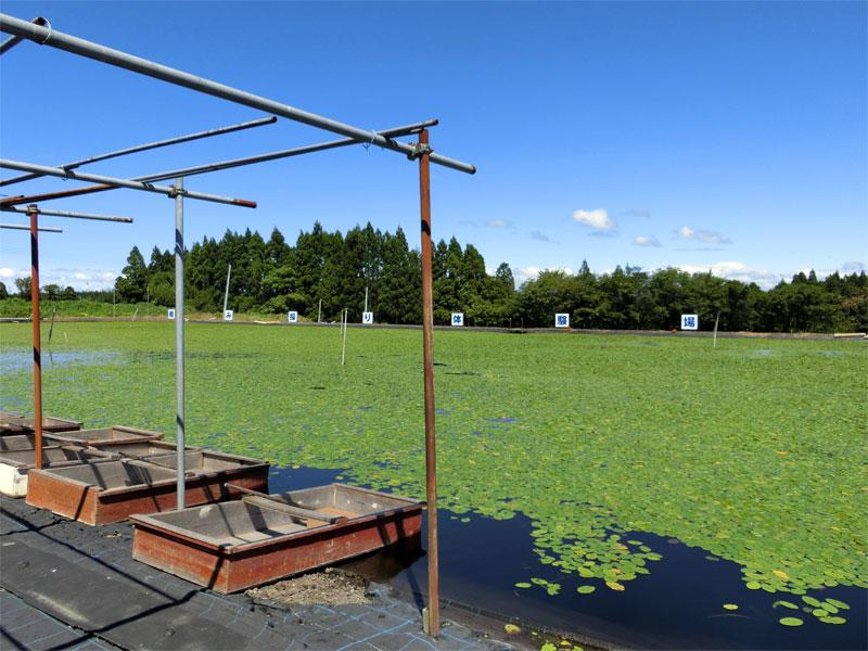 水内際に小舟が並べられ、沼の奥の方に体験場という看板が立っている阿部農園の様子