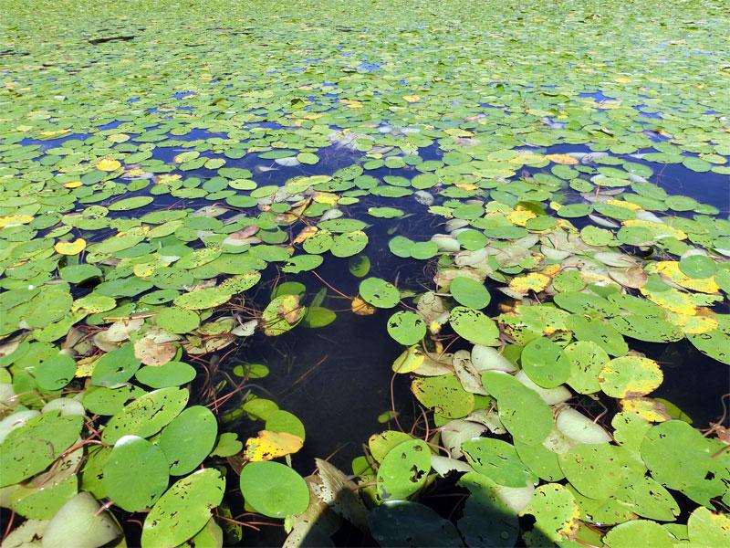 開いたじゅんさいの葉が水面を埋め尽くすじゅんさい沼の様子