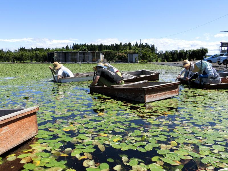 じゅんさい沼に浮かべた小舟に乗り、じゅんさいを探して採っている様子