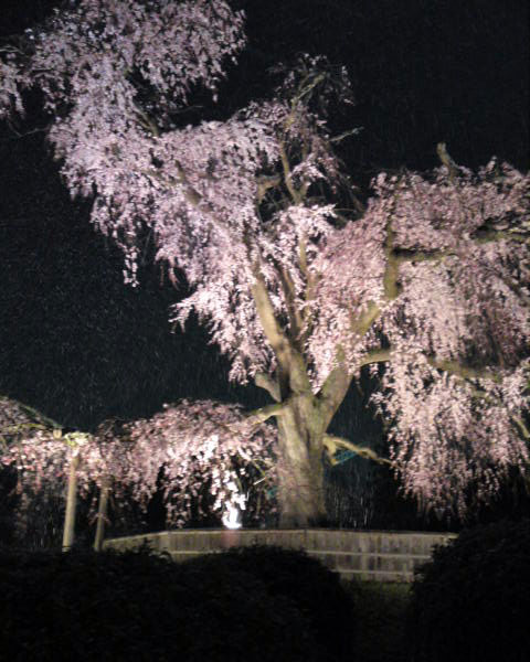 京都市円山公園の祇園の夜桜で有名な祇園枝垂桜に雪が降り積もっている様子。