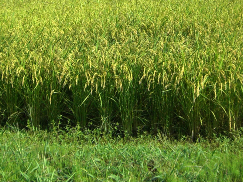 収穫を控え穂にたくさんのお米をつけた健康的な稲