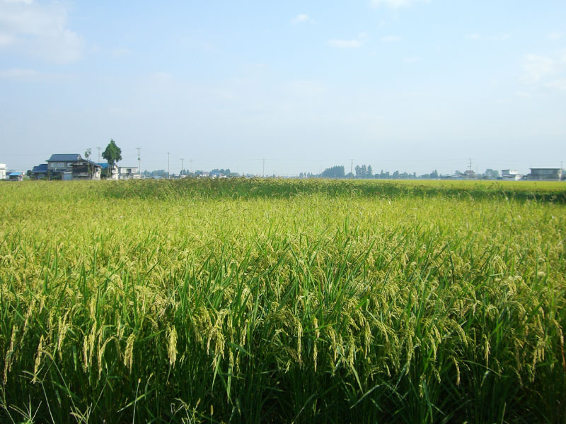 収穫を控え穂にたくさんのお米をつけた健康的な稲穂