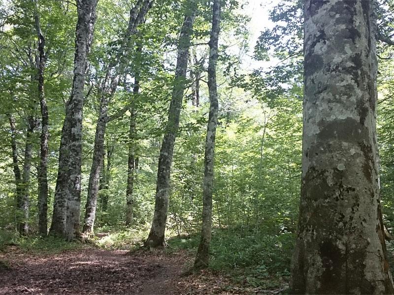 ブナ林の木陰が心地よいわかりやすくきれいな登山道