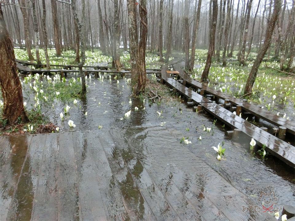 ミズバショウが咲く遊歩道がある湿原で、雨で水量が多すぎて木道の踊り場?の一部は水没している様子