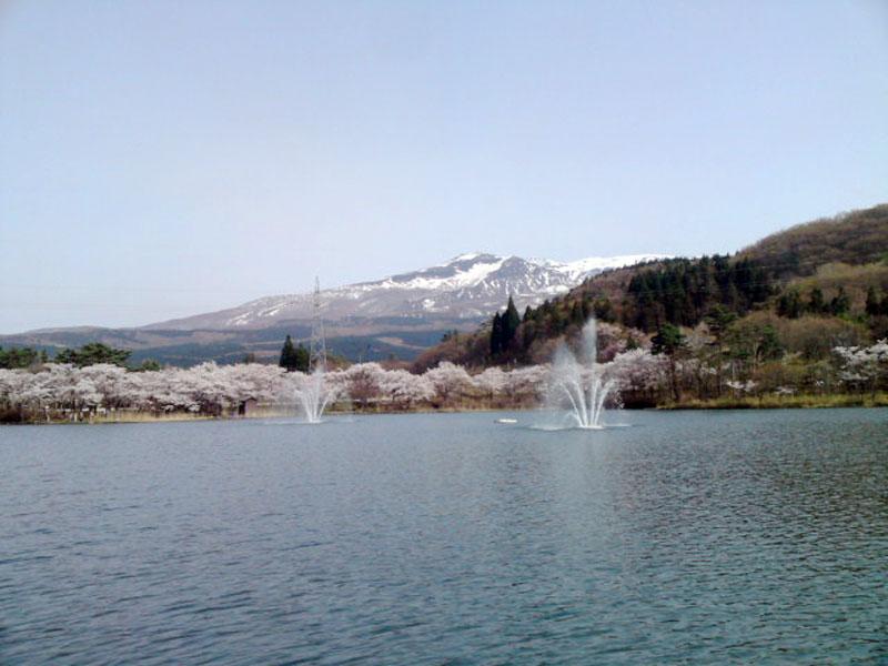 噴水のある池の周りを桜が囲み、鳥海山とのコラボレーションが絵になる勢至公園の風景