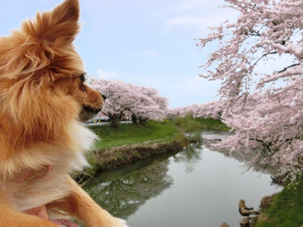 太平川と桜と犬っこ