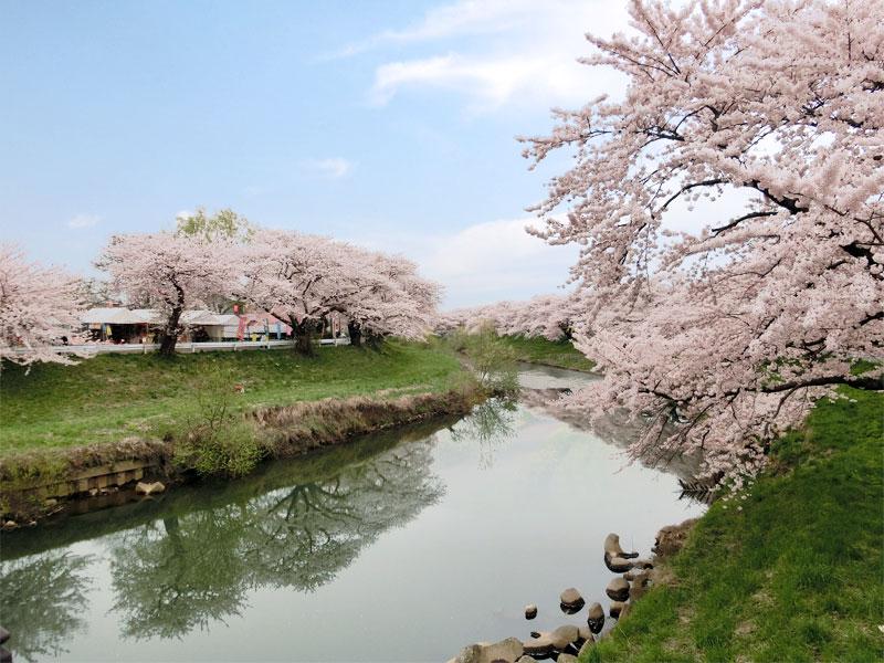愛宕下橋から見た太平川の桜の様子。堤防に桜が咲き乱れるている。