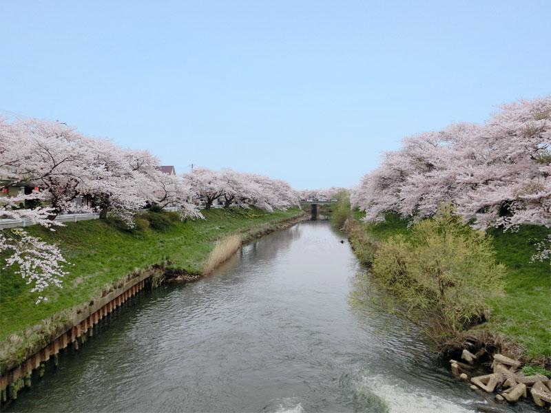 太平川の両堤防に桜が咲き乱れている。写真奥の方に見えるのが愛宕下橋。