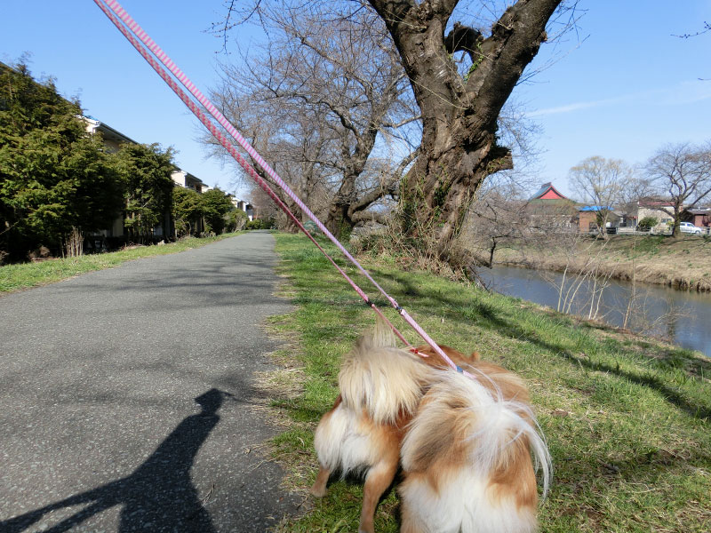 桜が咲く前の太平川堤防、まだ気は裸な様子。